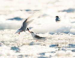 Arctic Tern (Sterna paradisaea) in autum ice, Svalbard, Norway