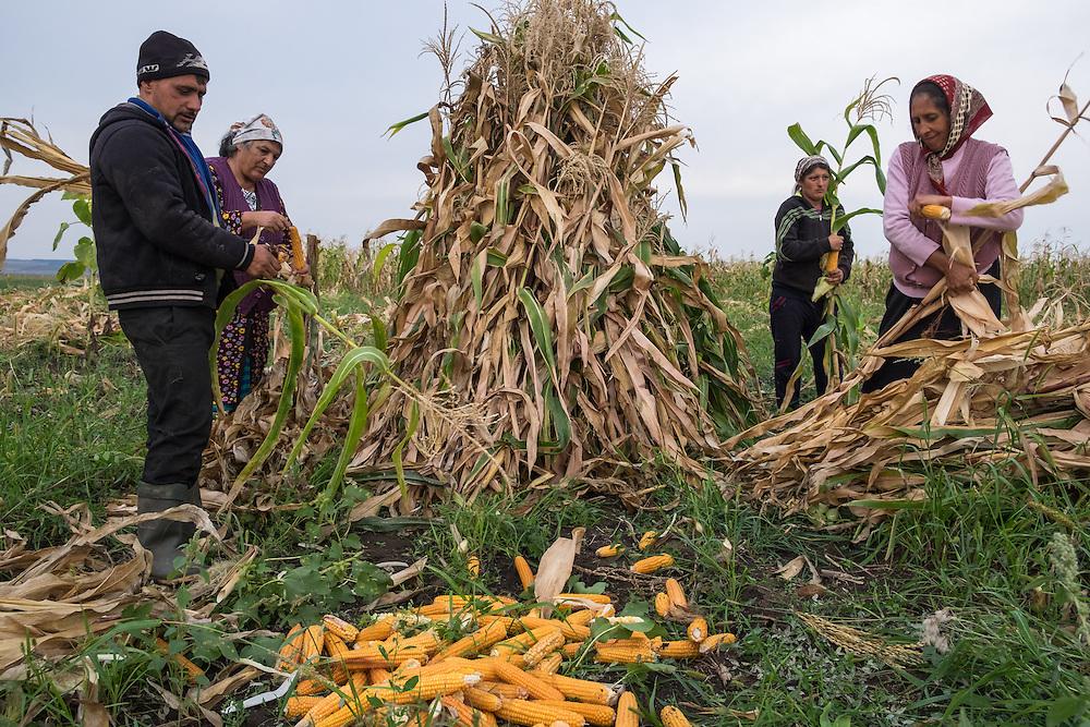 Roma harvesting corn in the village of Dimacheni in Botosani County, Romania.