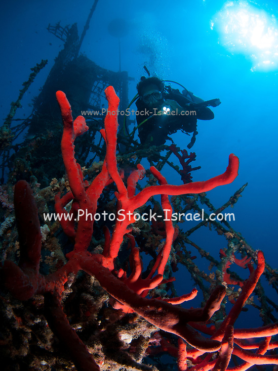Magnificent Fire Sponge, (Latrunculia magnifica) grows on the protective netting. Photographed in the military naval base in Eilat, Israel