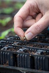 Sowing Lathyrus odoratus 'Lady Salisbury' - Sweet pea - in root trainers.