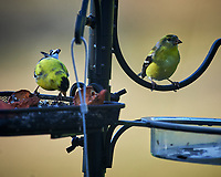 American Goldfinch. Image taken with a Nikon D4 camera and 600 mm f/4 VR lens