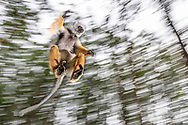 Diademsifaka (Propithecus diadema), Andasibe, Madagaskar<br /> <br /> A Diademed sifaka (Propithecus diadema) is jumping from on tree to another, Andasibe, Madagascar