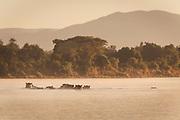 Hippopotamus pod in lower Zambezi River, Zambia