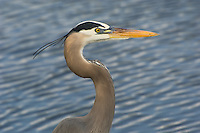 Great blue heron with crest in the Florida Everglades.
