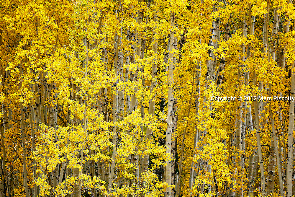 SHOT 9/26/12 2:27:04 PM - Photos of aspen trees changing colors as the fall foliage season comes to a peak in Colorado. The aspen trees were located in the Gunnison National Forest near Kebler Pass just outside of Crested Butte, Colo. Populus tremuloides, the Quaking Aspen or Trembling Aspen, is a deciduous tree native to cooler areas of North America and is generally found at 5,000-12,000 feet. The name references the quaking or trembling of the leaves that occurs in even a slight breeze due to the flattened petioles. It propagates itself by both seed and root sprouts, and extensive clonal colonies are common. Each colony is its own clone, and all trees in the clone have identical characteristics and share a root structure. (Photo by Marc Piscotty / © 2012)