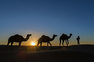 A nomad with dromedaries in the desert at sunrise.