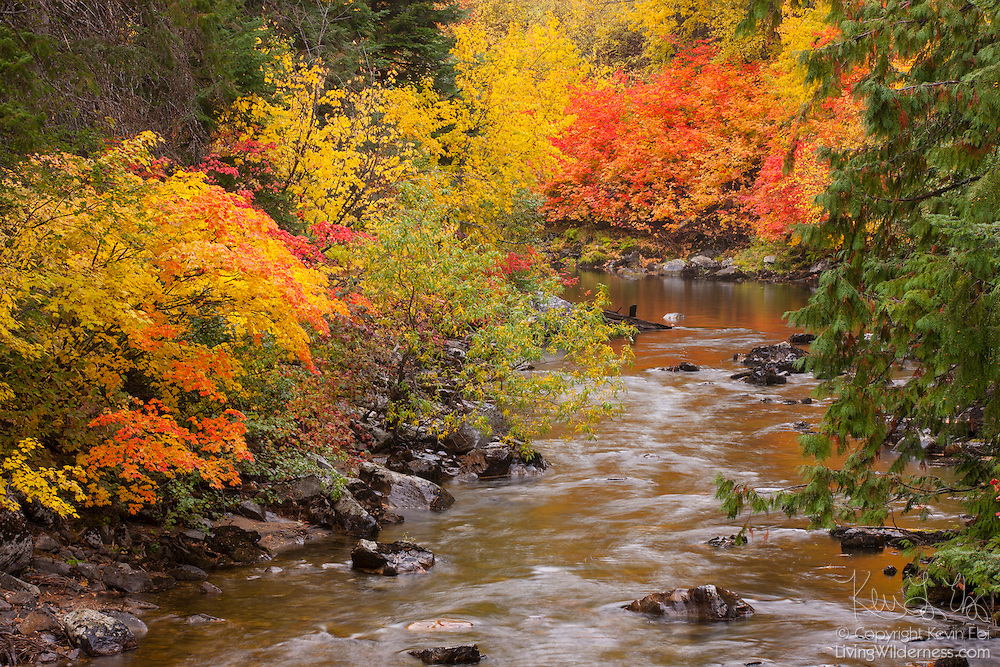 Colorful maple trees displaying the peak of their fall colors line the banks of Nason Creek near Merritt, Washington. Merritt is located just east of Stevens Pass.