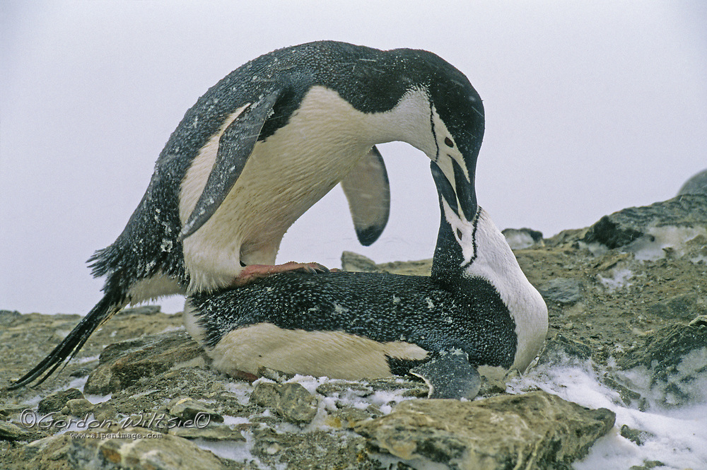 PENGUIN, SOUTH ORKNEY ISLANDS. Chinstrap penguins mating on Coronation Island, near Antarctica in the South Atlantic Ocean.