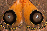 Peacock Moth (Automeris sp.) <br /> Flashing eye spots in defense<br /> Yasuni National Park, Amazon Rainforest<br /> ECUADOR. South America