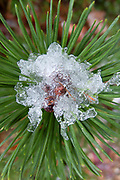 Pine branch, ice, cold