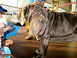 """June 23, 2017 Petaluma, Ca. USA<br /> Winner MARTHA a Noeapolian Mastiff & entrant in the """"World's Ugliest Dog Contest""""  RASCAL, a hairless critter with owner, actor, DANE ANDREW of Sunnyvale, Ca. who won trophies in 4 other ugly dog contest in the last 3 years of his competing and has a new music video out, """"You Bring Me Luck"""" by singer, Athena. <br /> The contest took place during the Sonoma Marin Fair.<br /> Photo by Dane Andrew / Total Entertainment News. TEN. c.2017<br /> 408 744-9017 TenPressMedia@gmail.com"""