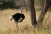 Somali ostrich (Struthio molybdophanes) The Somali ostrich, also known as the blue-necked ostrich, is a large flightless bird native to the Horn of Africa. It was previously considered a subspecies of the common ostrich, but was identified as a distinct species in 2014. Photographed in Ethiopia