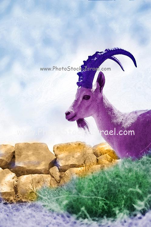 Digitally enhanced image of a Nubian Ibex (Capra ibex nubiana AKA Capra nubiana) close up of a large mature male. Photographed on the Outskirts of Kibbutz Sde Boker, Negev Desert, Israel,
