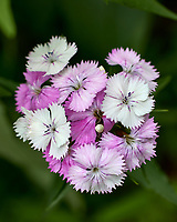 White, Pink, Purple Wildflower. Image taken with a Leica CL camera and 60 mm f/2.8 lens
