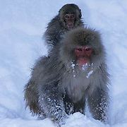 Snow Monkey or Japanese Red-faced Macaque, (Macaca fuscata) Mother with baby on back. Japan.