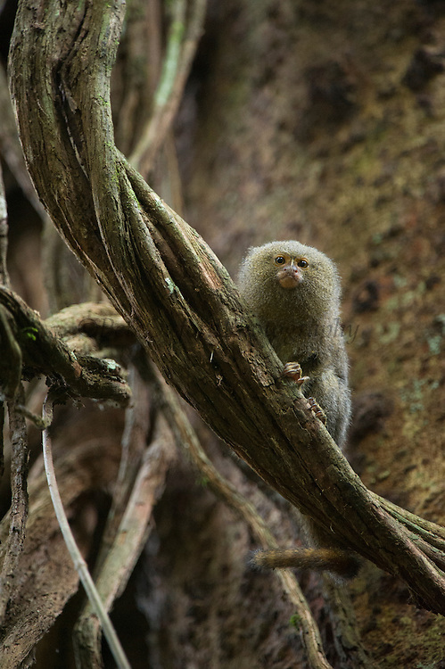 Pygmy Marmoset (Cebuella pygmaea)<br /> Yasuni National Park, Amazon Rainforest<br /> ECUADOR. South America<br /> HABITAT & RANGE: New World monkey native to the rainforest canopies of western Brazil, southeastern Colombia, eastern Ecuador, eastern Peru, and northern Bolivia.<br /> Smallest true monkey in the world.
