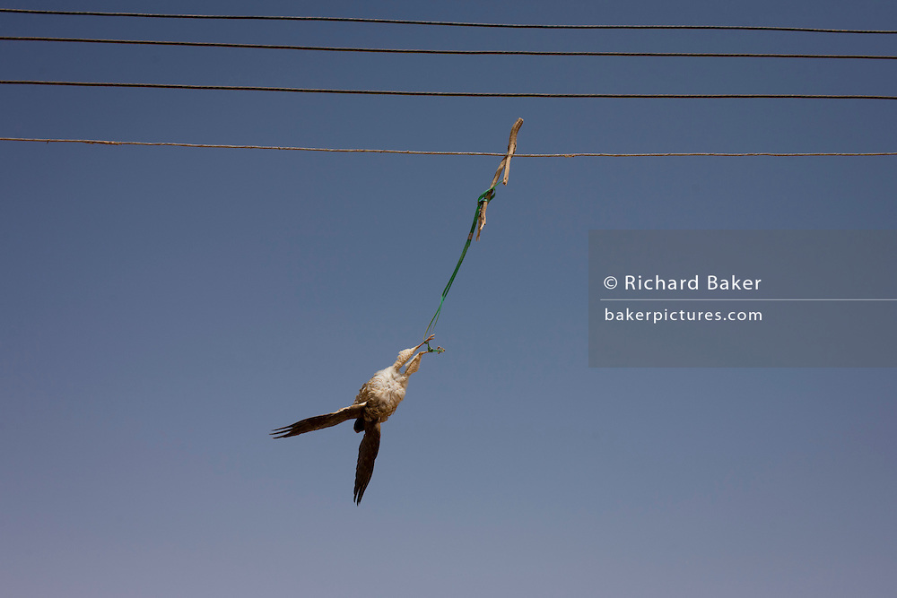A bird of prey hangs from electrical wires after being killed by a local pigeon farmer, whose birds he is trying to protect at Dahkla Oasis, Western Desert, Egypt. Miost birds including flamingos, stalks, cranes and all large birds of prey are protected under Egyptian law. The Western Desert covers an area of some 700,000 km2, thereby accounting for around two-thirds of Egypt's total land area. Dakhla Oasis is one of the seven oases of Egypt's Western Desert (part of the Libyan Desert). It lies in the New Valley Governorate, 350 km (220 mi.) and measures approximately 80 km (50 mi) from east to west and 25 km (16 mi) from north to south.