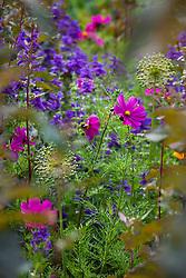 Cosmos bipinnatus 'Dazzler' with Atriplex hortensis, Salvia viridis and allium seedheads