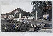 Chinese tea plantation. Engraving, London, 1820.