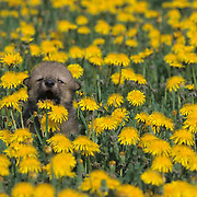 Gray Wolf, (Canis lupus) Young pup in field of dandelions. Howling. Montana.   Captive Animal.