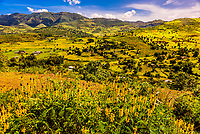 Mustard flowers growing in the mountains near Gondar, Ethiopia.