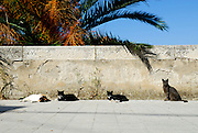 Section of low wall with palm tree and cats. Korcula old town, island of Korcula, Croatia