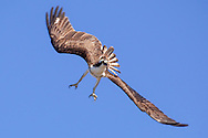 An osprey with its legs down, ready to land on its nest.