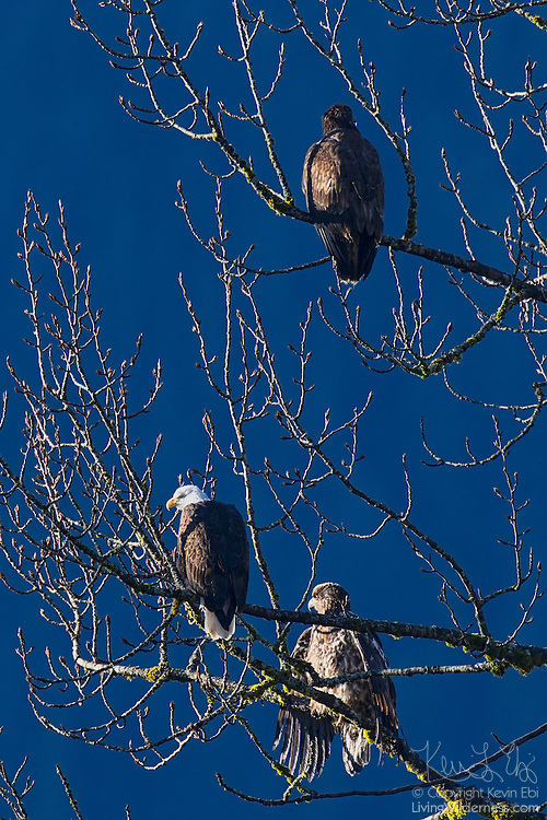 Three bald eagles (Haliaeetus leucocephalus), one adult and two juveniles, share a bare tree over the Cheakamus River near Brackendale, British Columbia, Canada. Brackendale is home to one of the largest wintering populations of bald eagles in North America.
