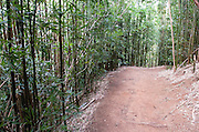 A dirt trail leads through a bamboo forest on the Manoa Cliff Trail.