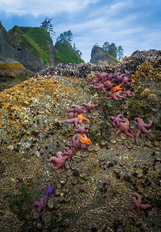 Starfish on a rock in Olympic national park at low tide, near Point of the Arches