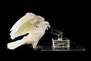 [captive] Goffin's cockatoo (Cacatua goffiniana). In this experiment, the cockatoo learns to use a tool. It needs to use a small ball to remove a treat (peanut) from a box. Goffin's cockatoos or Tanimbar Corellas are endemic to the Tanimbar archipelago in Indonesia. Research on their cognitive abilities is done in the Goffin Lab (Lower Austria) by Dr. Alice M. I. Auersperg. Sequence 8/8. | Goffinkakadu (Cacatua goffiniana). In diesem Versuch muss der Goffinkakadu erlernen, mit einer Kugel eine Belohnung (Erdnuss) heraus zu kegeln, um sie zum Rausfallen aus einer ansonsten unzugänglichen Box zu bringen. Der Kakadu lernt hierbei den Werkzeuggebrauch. Der Goffinkakadu ist eine Papageienart und kommt in freier Wildbahn ausschließlich auf der indonesischen Inselgruppe Tanimbar vor. Forschung zu kognitiven Fähigkeiten des Goffinkakadus wird im Goffin Lab (Niederösterreich) von Dr. Alice M. I. Auersperg durchgeführt. Sequenz 8/8.