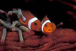 This Western Clown Anemonefish, Amphiprion ocellaris, appears to be giving its companion a kiss on the cheek. Lembeh Strait, North Sulawesi, Indonesia, Pacific Ocean