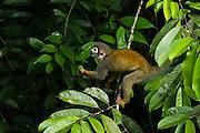 Common Squirrel Monkey (Saimiri sciureus)<br /> Yasuni National Park, Amazon Rainforest<br /> ECUADOR. South America<br /> HABITAT & RANGE: Tropical forests of Brazil, Columbia, Ecuador, French Guiana, Guyana, Peru, Suriname, Venezuela and Puerto Rico.
