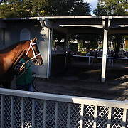 A race horse parades behind the parade ring stables as it prepares for racing at Belmont Park during the Jockey Club Gold Cup Day, Belmont Park, New York. USA. 28th September 2013. Photo Tim Clayton