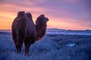A Bactrian camel of the Gobi Desert in winter (Camelus bactrianus) at sunset, Gobi Desert, Mongolia
