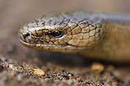 Slow-worm or Blindworm, Anguis fragilis, Musteika Village, on the border of the Cepkeliai reserve and the Dzukija National Park, Lithuania, EU