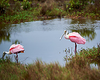 Pair of Roseate Spoonbills, Merritt Island National Wildlife Refuge. Image taken with a Nikon D3s camera and 80-400 mm VR len (ISO 200, 380 mm, f/5.6, 1/320 sec).