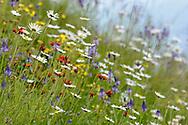 Bunte Wiese mit Margerite (Leucanthemum vulgare) und Orangerotem Habichtskraut (Hieracium aurantiacum) bei der Riederalp in der Nähe des Aletschgletscher an einem bewölkten Sommertag im Juli
