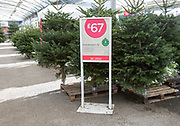 Nordmann fir Christmas trees on sale for £67 in garden centre, Suffolk, England, UK