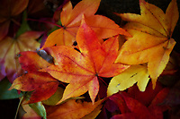A colorful selection of Autumn Maple leaves.