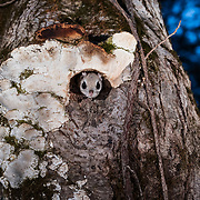 This is a Japanese dwarf flying squirrel (Pteromys volans orii), a sub-species of Siberian flying squirrel. getting ready to leave its nest to set out for a night of foraging. Known locally as ezo-momonga, this sub-species is found only in Hokkaido, Japan. It is primarily nocturnal. Mature females measure up to 15cm, males up to 18cm (not including tail). These animals weigh up to 120g and are capable of gliding considerable distances. During flight, they use their patagia (membranes of skin between their forelimbs and hind limbs) and tails (10-12cm) to achieve lift, directional control and maneuvering capability. One study in Japan recorded a maximum glide distance exceeding 49m, though most flights fell into the 10m to 20m range.