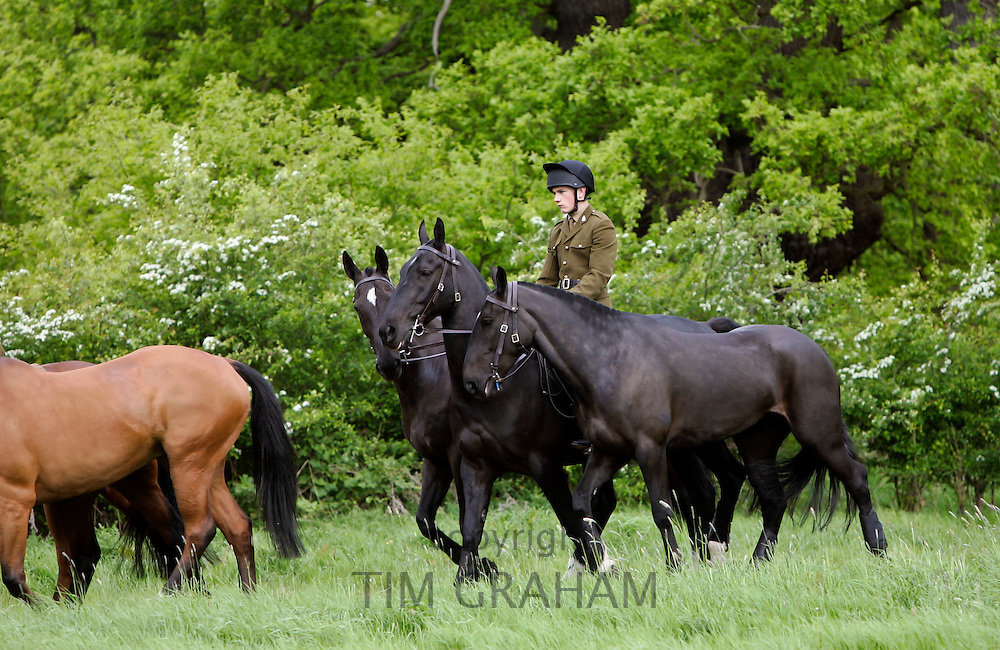 Military horses being exercised, Berkshire, UK