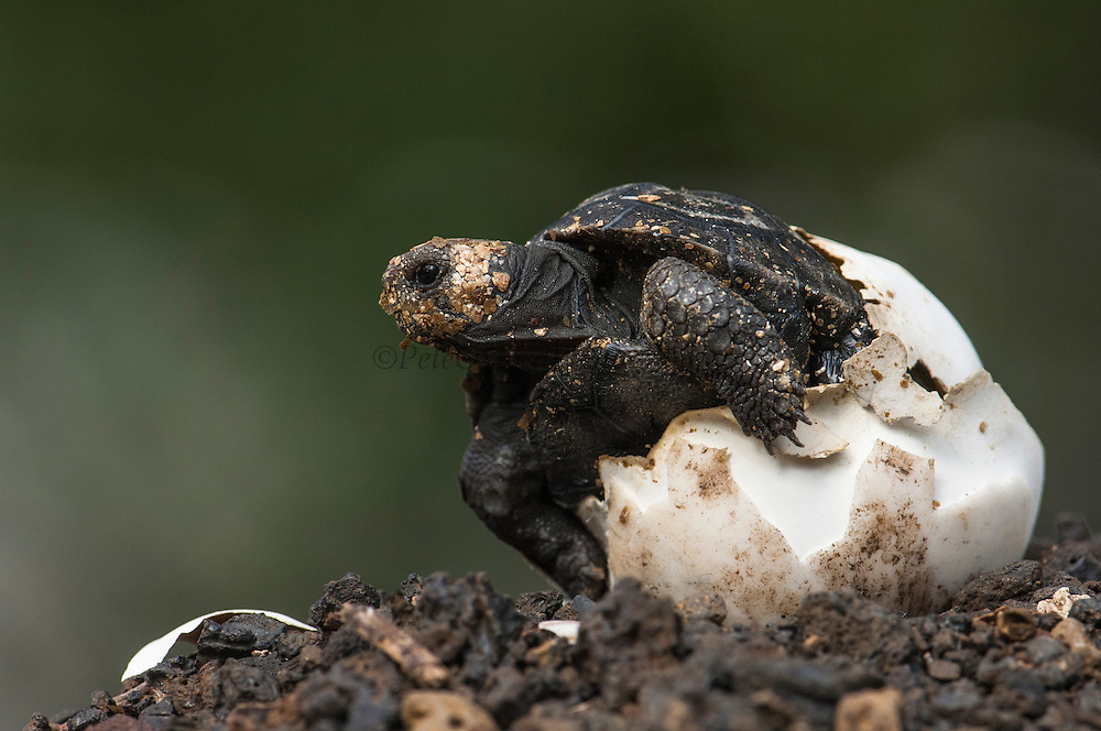 Galapagos Giant Tortoise Hatchling (Geochelone elephantophus ephippium)  FROM PINZON ISLAND<br /> Charles Darwin Research Station. Puerto Ayora, Santa Cruz Island<br /> GALAPAGOS ISLANDS<br /> ECUADOR.  South America