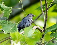 Gray Catbird. Image taken with a Nikon D2xs camera and 300 mm f/2.8 VR lens