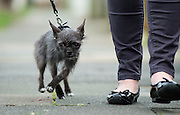 """My dog went from cute to ugly<br /> <br /> What a difference a year makes.<br /> When Faye Klysz chose a super cute Chihuahua puppy as a gift from her husband at Christmas last year, she imagined being the envy of her friends in trendy Leigh-on-Sea, Essex.<br /> Fast-forward 12 months and the picture is very different, with pals branding Busby """"the ugliest dog on Instagram"""". With more than 2,800 followers on social media, @BusbyTheRatDog is gaining a fan base for all the wrong reasons.<br /> Faye said: """"I picked Busby when he was two days old because he was really cute. He was all smooth-haired and beautiful. His mum and dad were both stunning; real show dogs.<br /> """"But, by the summer, his hair had completely taken over and become completely freaky!""""<br /> Busby has left his new family and even the experts baffled as to his bizarre appearance.<br /> """"Busby is from a litter of five and all the others are as beautiful as the mum and dad with their lovely smooth hair,"""" said Faye. """"The breeder said they've never had a dog like Busby and even the vet said they'd never come across one like him from such pretty parents.<br /> """"He's a complete throwback; a bit of a freak of nature.""""<br /> While his owner thought her pint-sized pup would draw attention for his good looks, quite the opposite has become true.<br /> """"People stop me in the street to ask what he is,"""" said Faye, who also has a Boxer dog called Benson. """"They even say 'oh isn't he pretty' and I reply 'no he's not, he's really ugly'! He is really cute, but only because he is so ugly.<br /> """"A friend suggested I set up an Instagram account for him and within a couple of months he has attracted almost 3,000 followers. I've got friends with business accounts who say they can't achieve anywhere near that kind of following. I try and take one or two photos a day of him to post and he's creating quite a stir on social media.<br /> """"He's absolutely gorgeous to me. He's a showstopper, that's for sure.""""<br /> ©Exclusivepix M"""