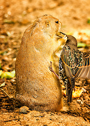 The starling just about got the food from the prairie dog.