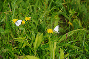 Alpine wildflower, and butterfly Photographed in Austria, Tyrol