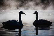 Silhouette ofJapanese Whooper swans (Cygnus cygnus) in fog, Lake Kussharo, Hokkaido, Japan