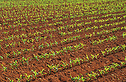 Corn seedling emerging from iron-rich, red soil<br />