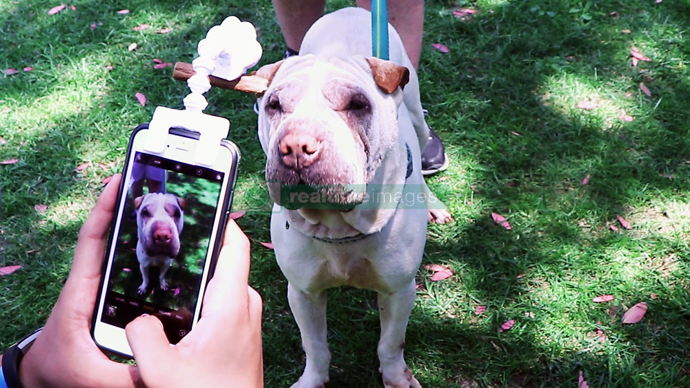 """July 4, 2017 - inconnu - Here's a sure way for animals lovers of getting the perfect selfies of their cat or dog.It's a dangling paw that fits on a smartphone and grabs their attention to ensure they look the cat's whiskers in any photos.Called Flexy Paw, the US company behind it says it allows owners to grab their pets' full attention for what it calls """"the PAWfect photo.""""The Flexy Paw attaches to most smart phones and tablets used in today's market. It has a flexible arm which allows it to be adjusted for the perfect angle and utlise the front and rear camera of a device. The unique clip design allows owners to attach their pets' favorite treat or toy. The animals will beg you for its favourite treat and gaze into the FlexyPaw without knowing that it's posing for the camera. The company says they might swipe at it, but it's all part of the fun. """"A spokesman said:"""" Your Pet doesn't even realize it's looking into the camera, too preoccupied with its favorite treat or toy. """"The flexible arm allows you to adjust it for the perfect angle of your pet, whether you're taking a selfie or a portrait. """"Whether you're taking a selfie or a portrait of your pet, it makes it convenient so you don't have to detach the FlexyPaw. """"You can also take creative shots if your pet is interactive. """"The company behind it, California-based Paw Champs, has launched a fund raising campaign on Kickstarter.The device costs $16 USD/ €15 Euros / £12 GBP # COMMENT REUSSIR LES SELFIES DE NOS ANIMAUX DE COMPAGNIE (Credit Image: © Visual via ZUMA Press)"""